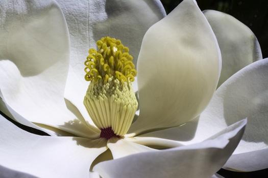 magnolia-flowers-park-spring-medium